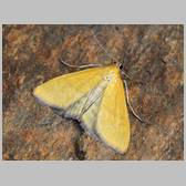 Mecyna lutealis