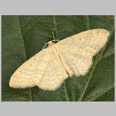 Idaea determinata